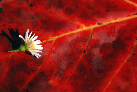 Closeup of red autumn leaf and tiny white flower Stock Photo