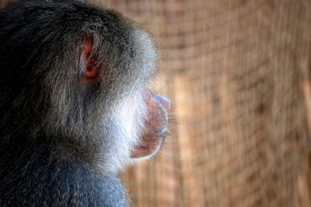 Profile of a baboon showing very human like features