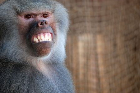 Trained baboon giving a big smile