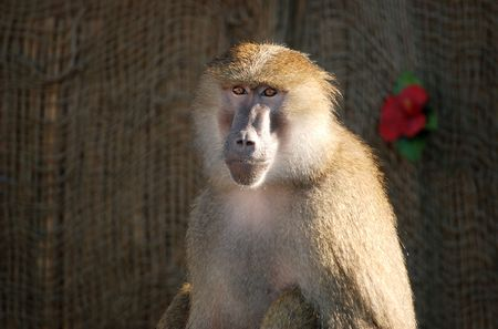 Trained baboon sitting calmly in the sunlight Stock Photo