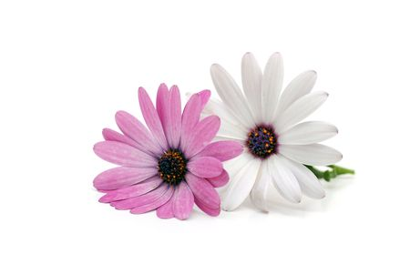 Pink and white daisies isolated on a white background