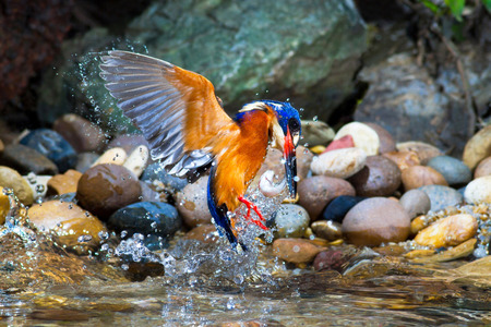 catching: Blue-eared Kingfisher Catching Fish. Stock Photo