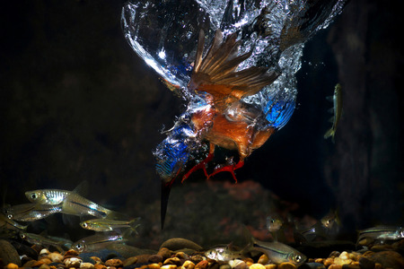 Blue-eared kingfisherMale diving catchingfish fail.