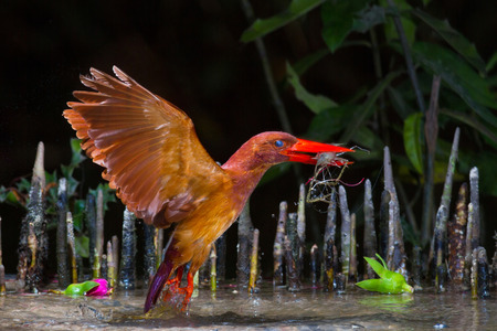 catching: Ruddy Kingfisher catching shrimp. Stock Photo