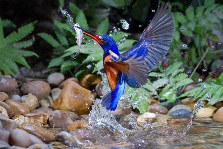 kingfisher: Blue-eared Kingfisher male Catching Fish.