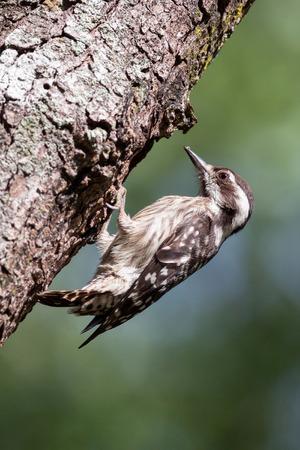 pygmy: Sunda Pygmy Woodpecker on branch.