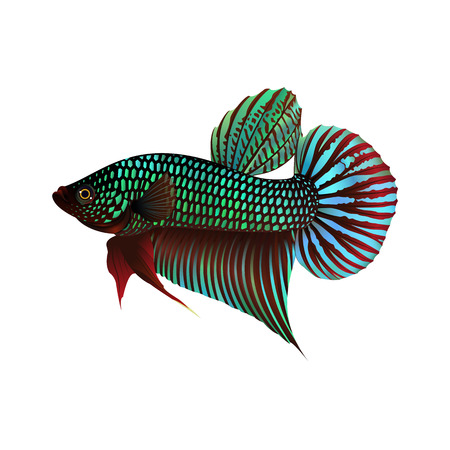 fighting fish: Fighting Fish On White Background, Vector Illustration. Illustration