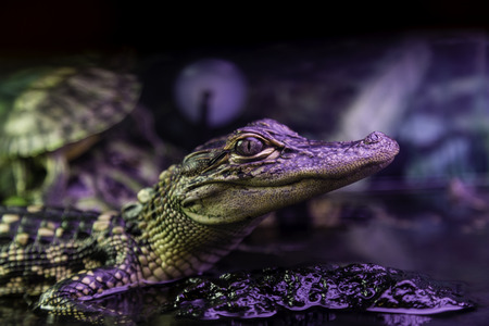 Alligator in New Orleans, USA photo