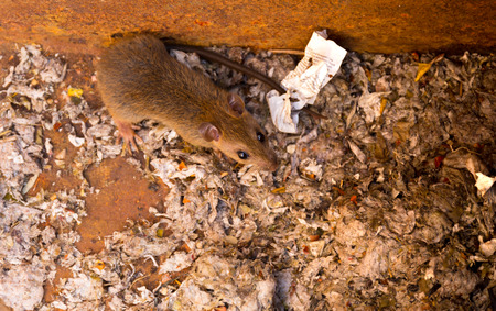 mess: Rat is in the mess dump Stock Photo