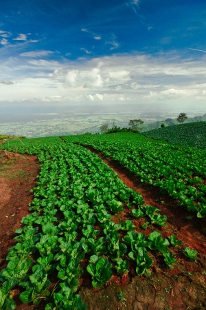 Beaucoup de choux verts dans les domaines de l'agriculture