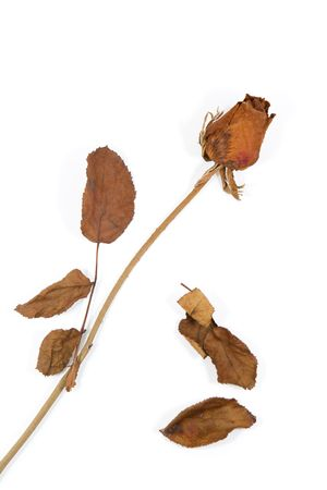 isolated dried rose with dried leaves on white background photo