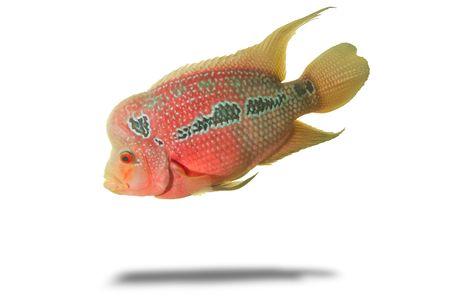 symphysodon: fish