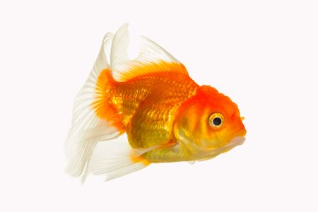 glod: glod fish Stock Photo