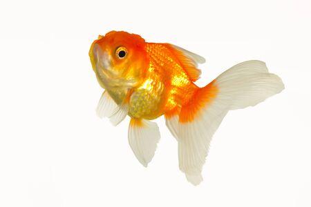 goldenfish: glod fish Stock Photo