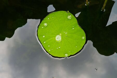 colorful water surface: leaf lotus