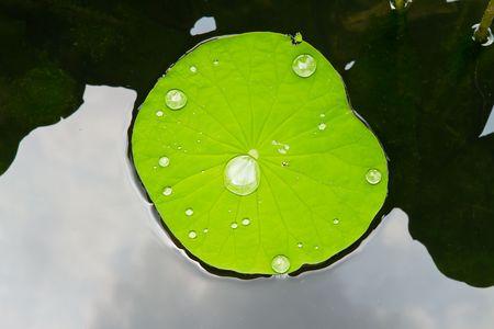 leaf lotus photo