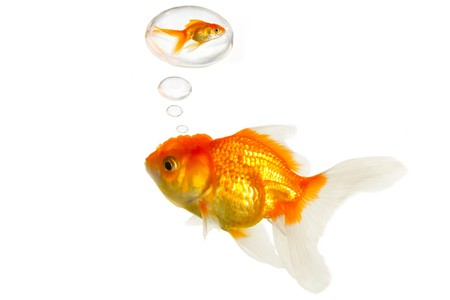 fat goldfish remember the past Stock Photo - 7935192
