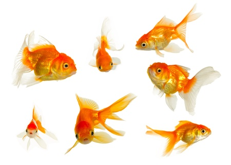 Gold fish collection Stock Photo - 8433897