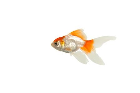 Gold fish Stock Photo - 8433802