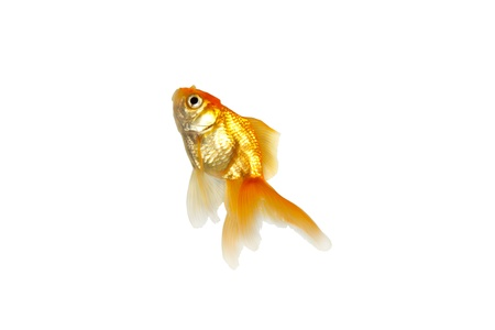 Gold fish Stock Photo - 8433801
