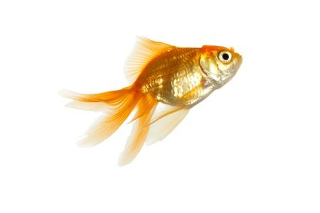 Gold fish Stock Photo - 8433805