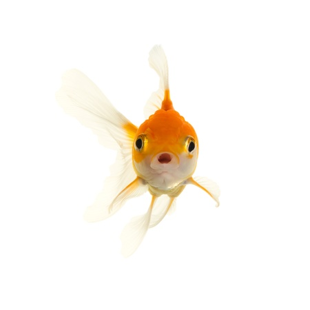 Gold fish  Stock Photo - 8844976
