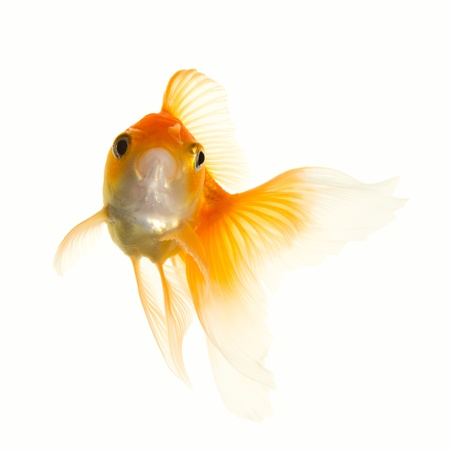 Gold fish  Stock Photo - 8844982