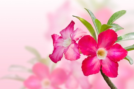 drenched: Plumeria flowers  Stock Photo