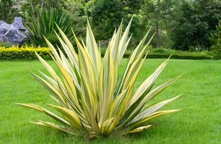 yucca: Agavaceae