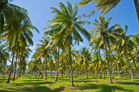 Coconut plantation photo
