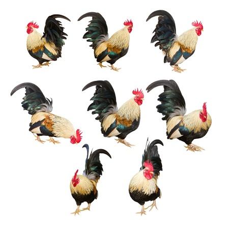 컬렉션 닭