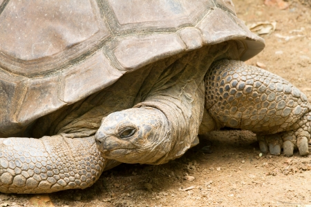 large turtle: Giant tortoises