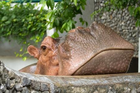 hippopotamus Stock Photo - 14516209