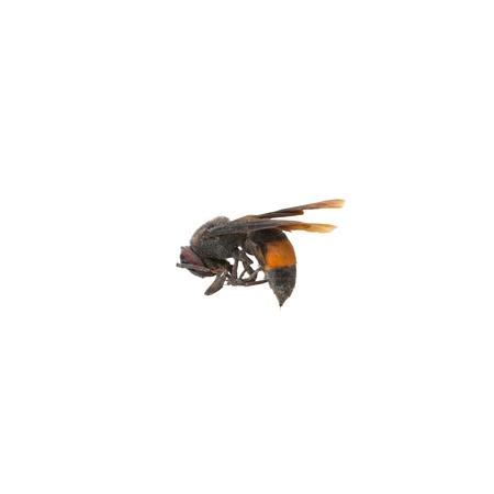 abdomen yellow jacket: Dead bees