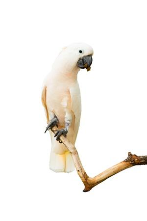White bird macaws