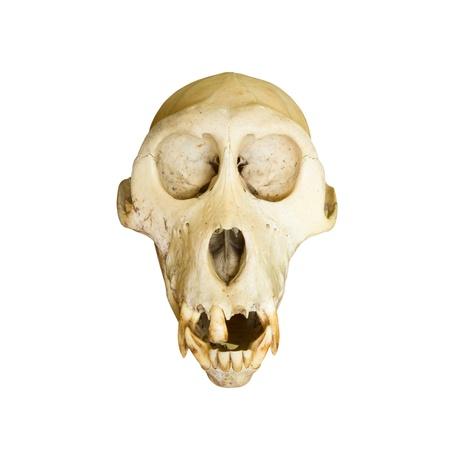 Monkey skulls photo