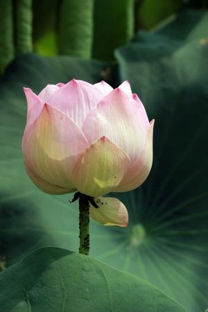 nelumbo: Lotus Flower  Nelumbo nucifera Stock Photo