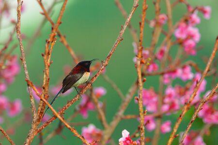sunbird: black-throated sunbird