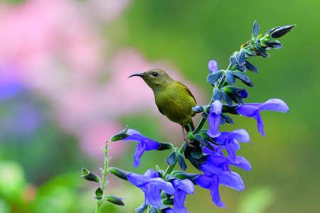 black-throated sunbird photo