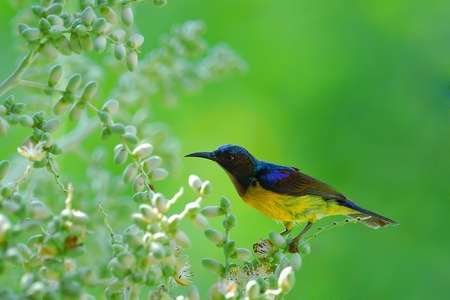 brown-throated sunbird Stock Photo - 8838023