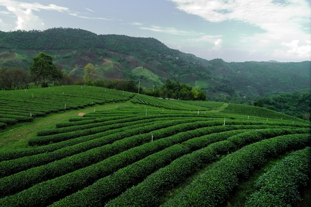 tea estates: greentea