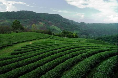 cropland: greentea