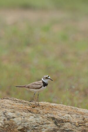 ringed: Little Ringed Plover Bird of Thailand Stock Photo