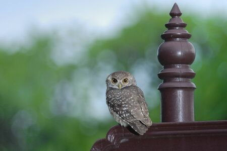 madhya: Spotted owlet bird of asia