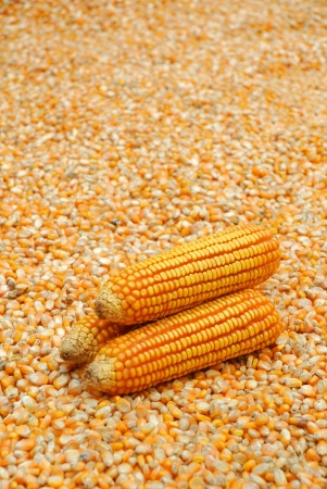 Three corns on Yellow seeds corn background photo