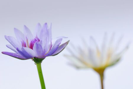 Twin lotus in white background photo
