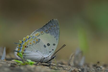 Jewelled Nawab is a butterfly in Thailand photo