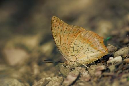 rajah: Butterfly Rajah nombre Tawny en Tailandia