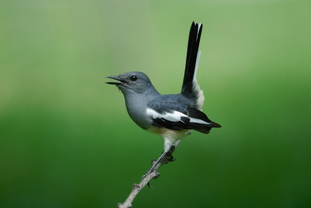 Bird name is Oriental magpie-robin photo