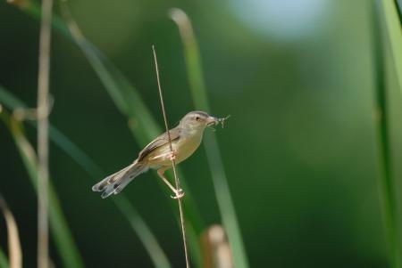 aves: Plain Prinia Stock Photo